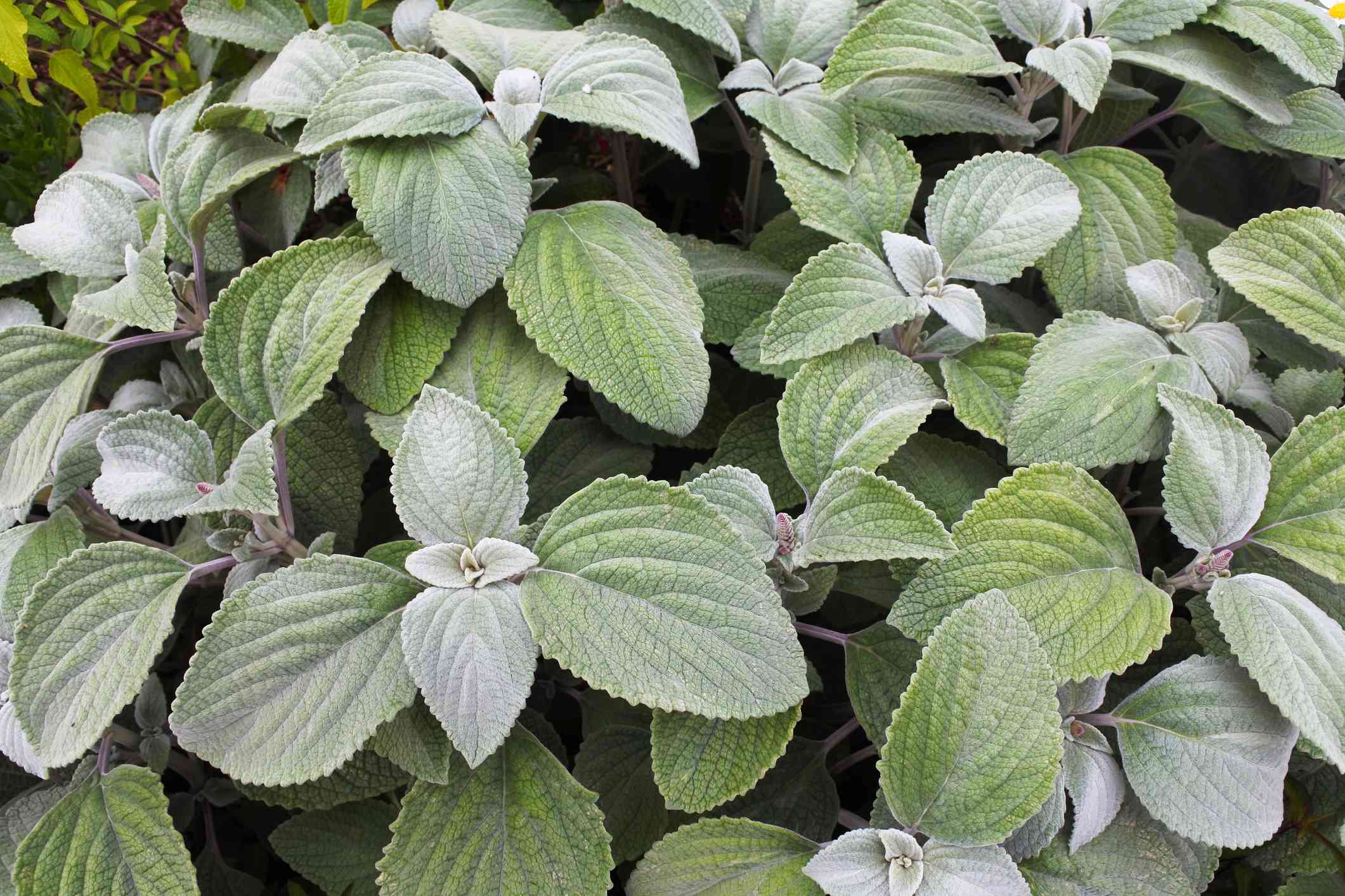 Close-up image of Plectranthus Argentitus, in an English summer garden.