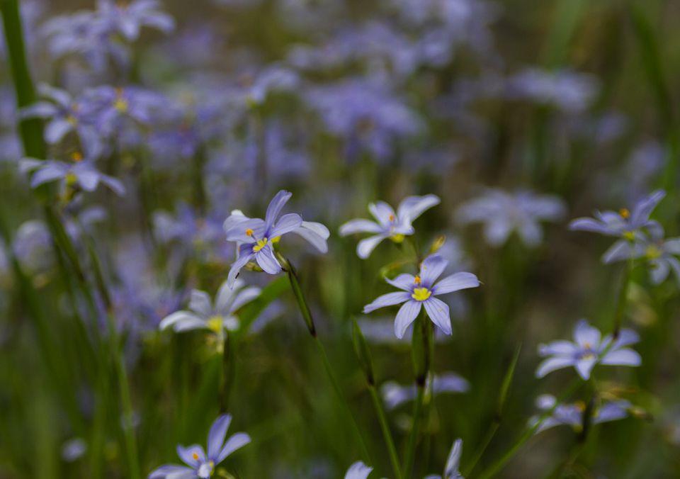 Blue eyed grass flowers in field.