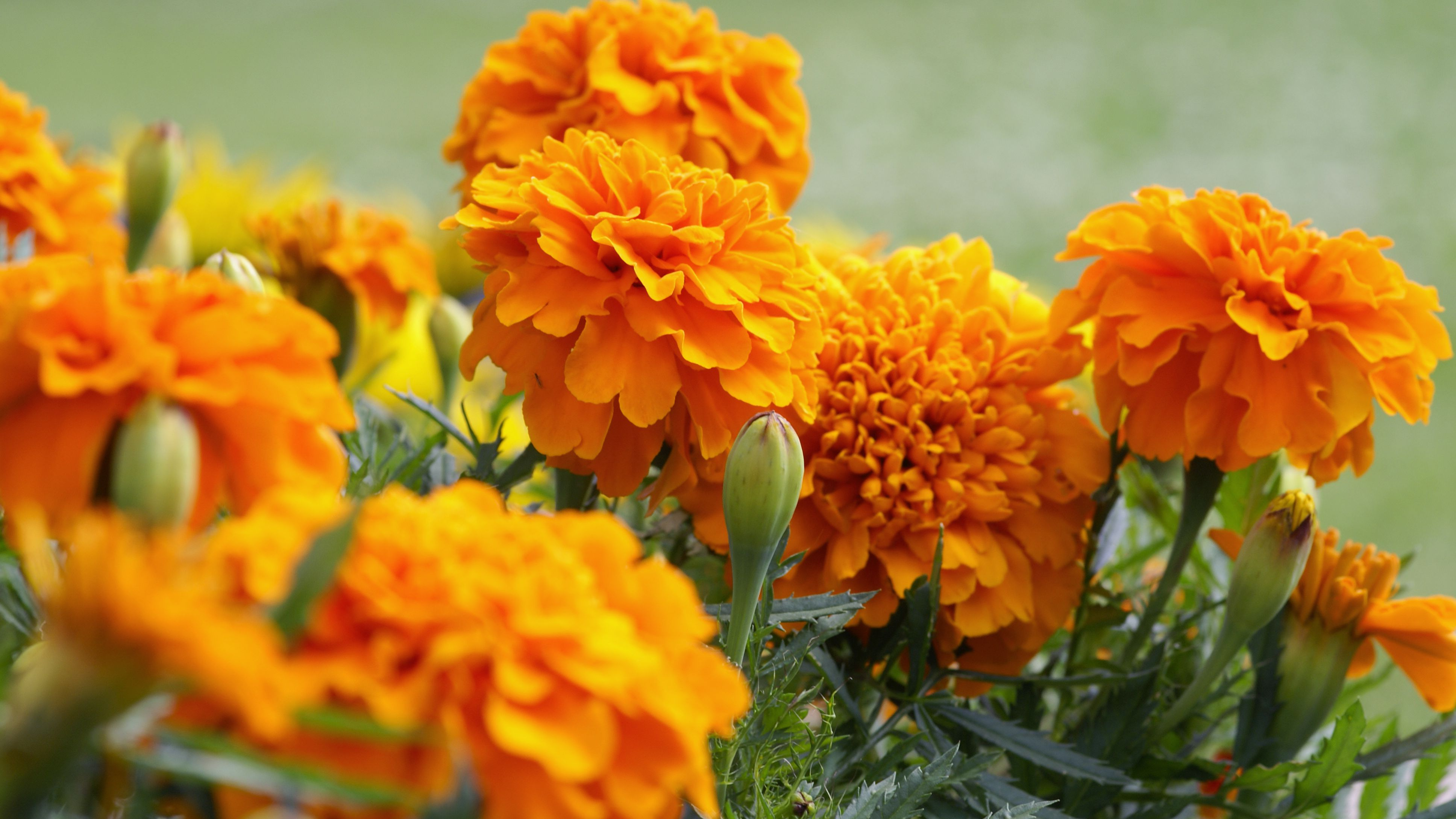 How To Harvest Marigold Seeds