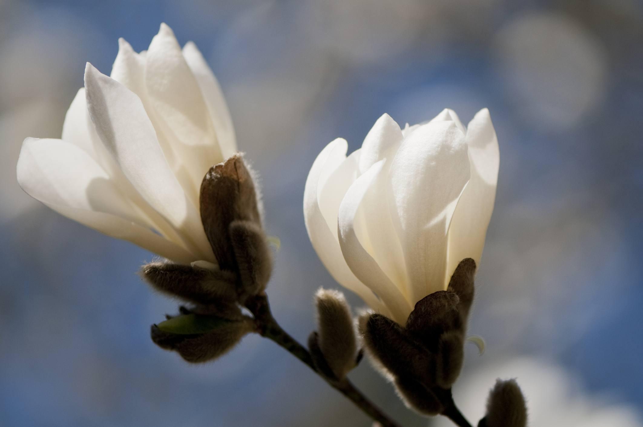 Anise Magnolia