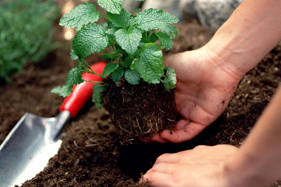 Woman planting lemon balm in soil.