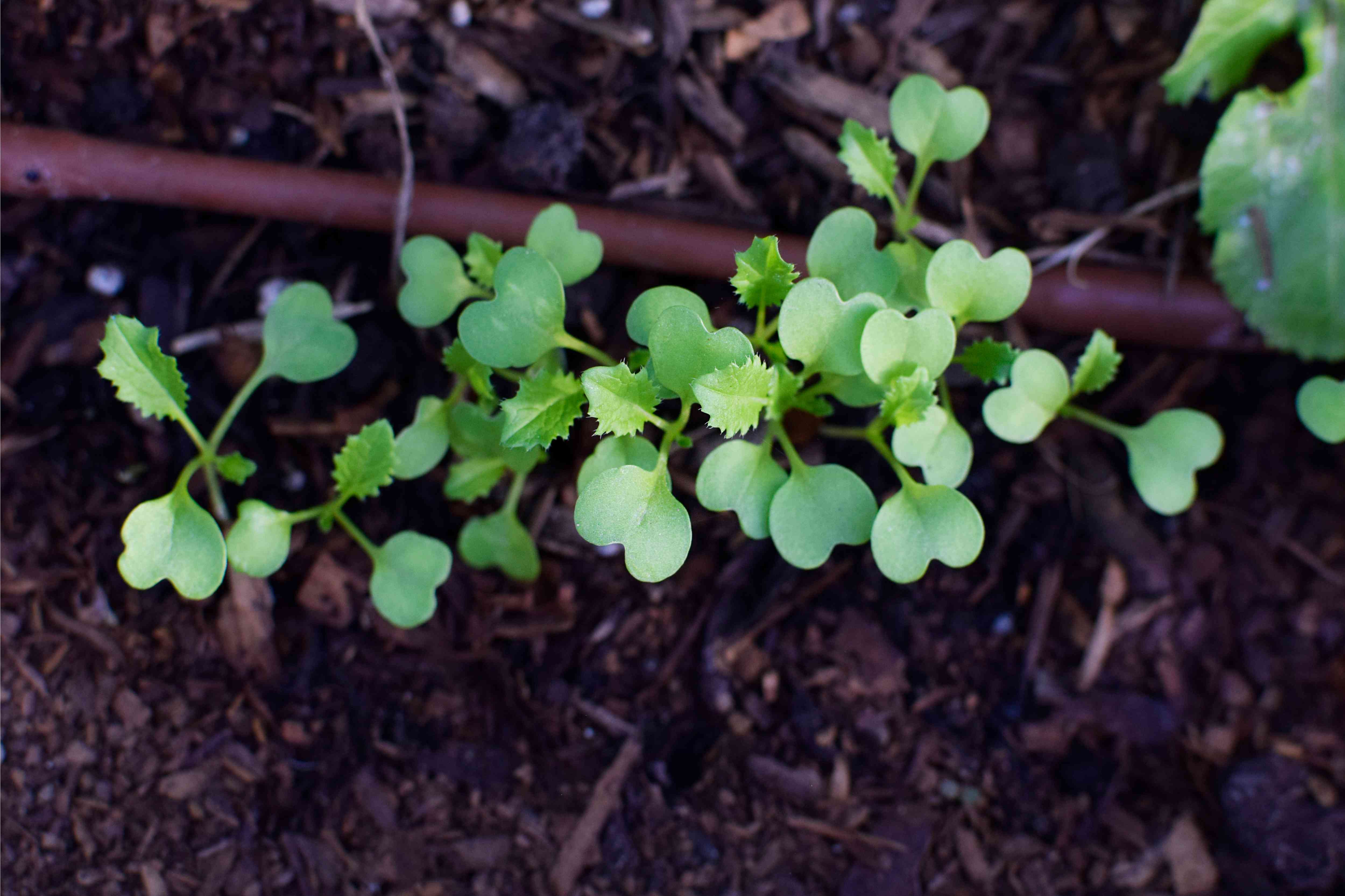 Turnips growing with small sprouts planted in ground