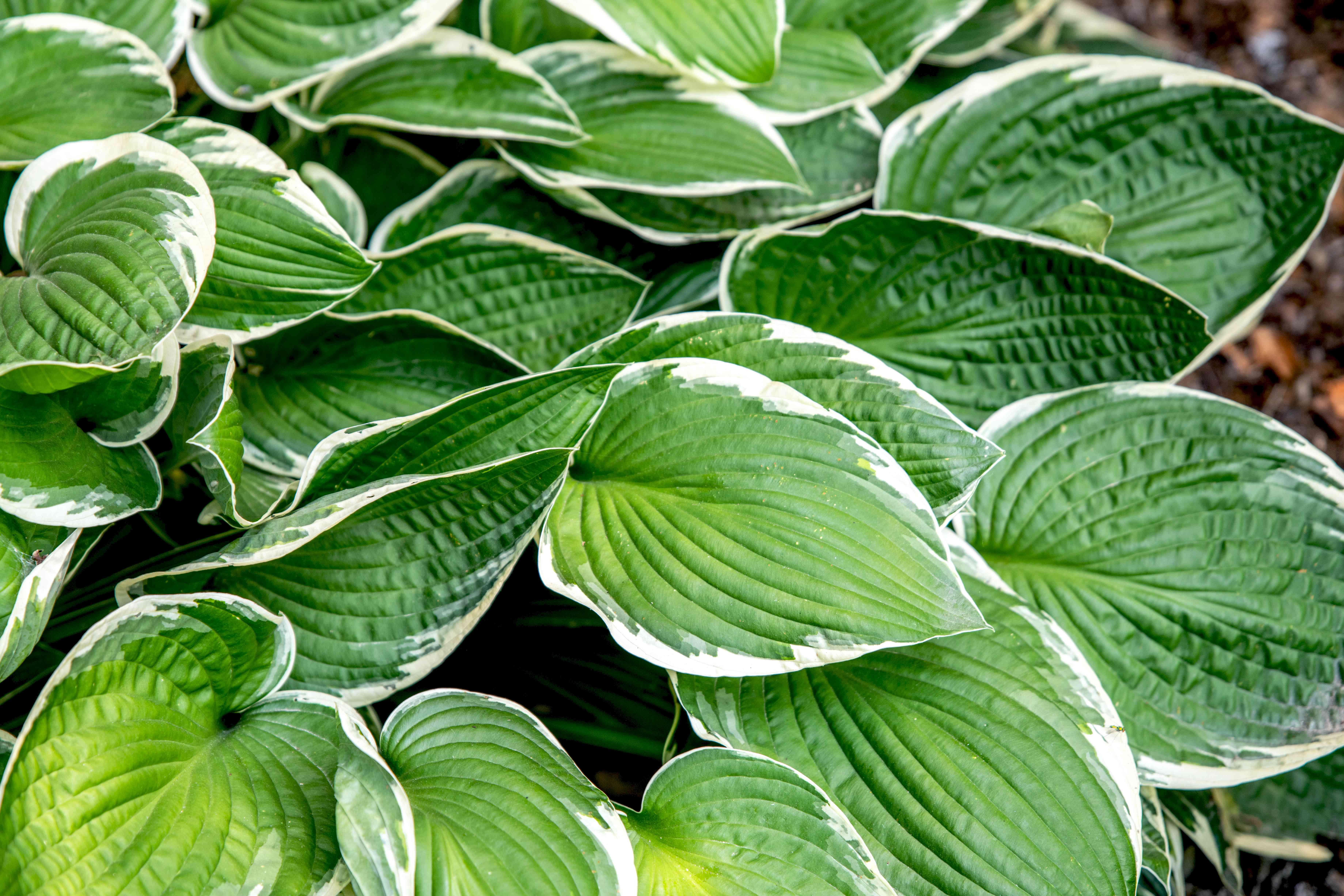 Francee hosta plant with large heart-shaped variegated leaves clustered together