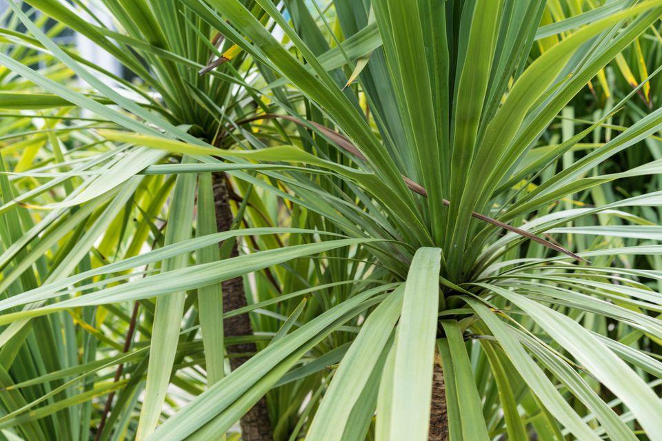Cordyline indivisa close up of foliage