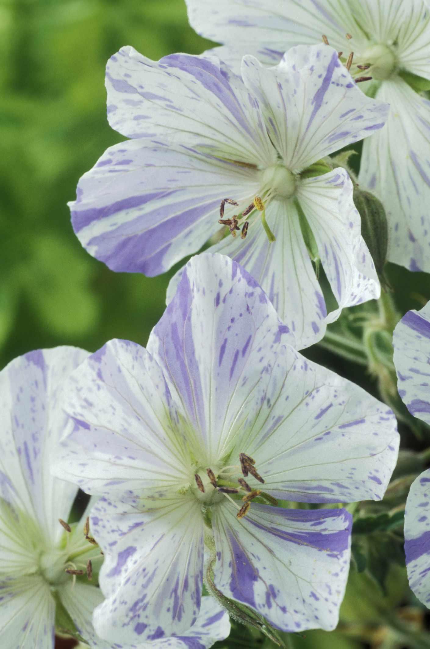 'Splish Splash' geranium with purple-flecked white petals