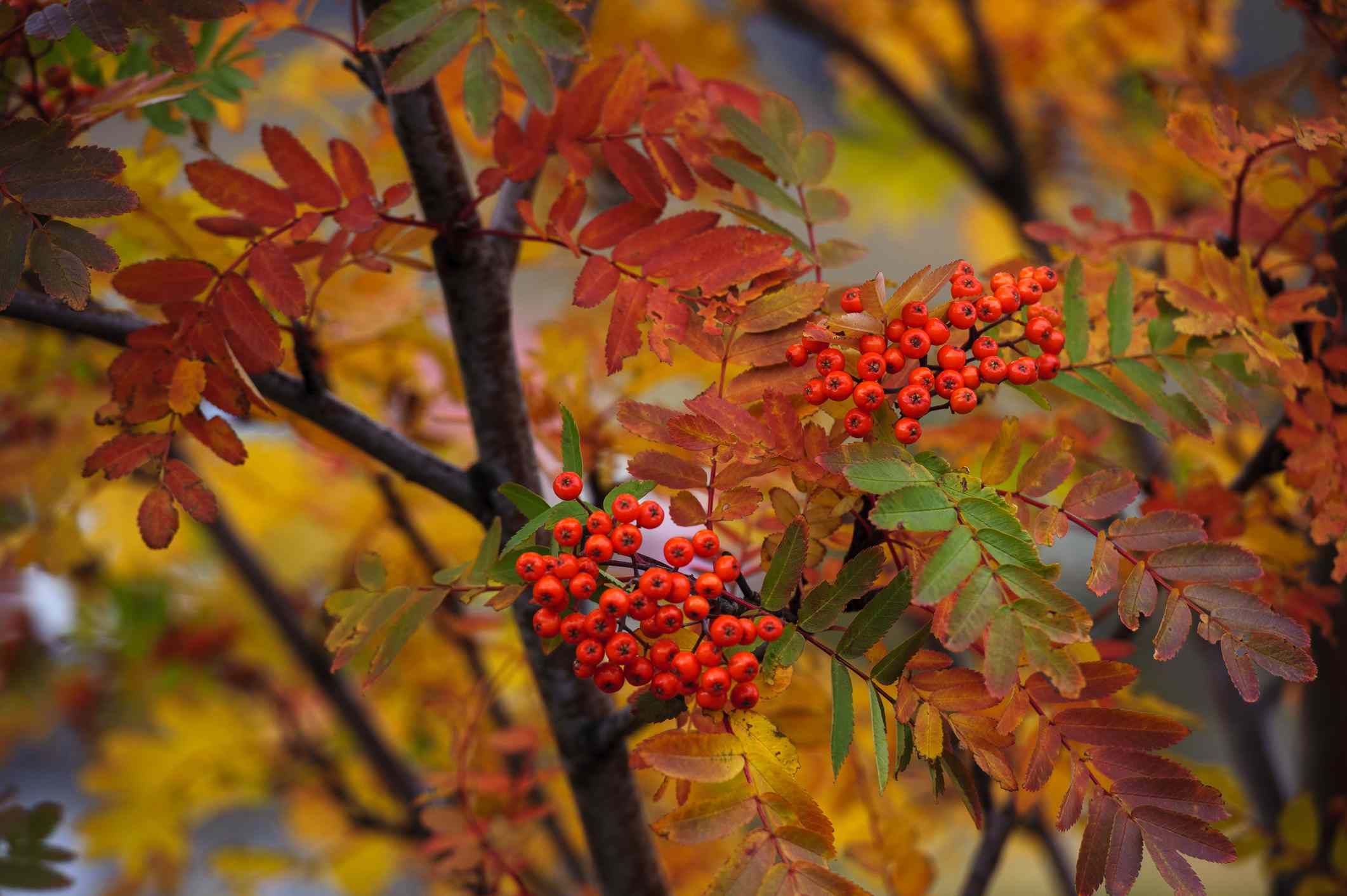 Mountain ash tree with berries.
