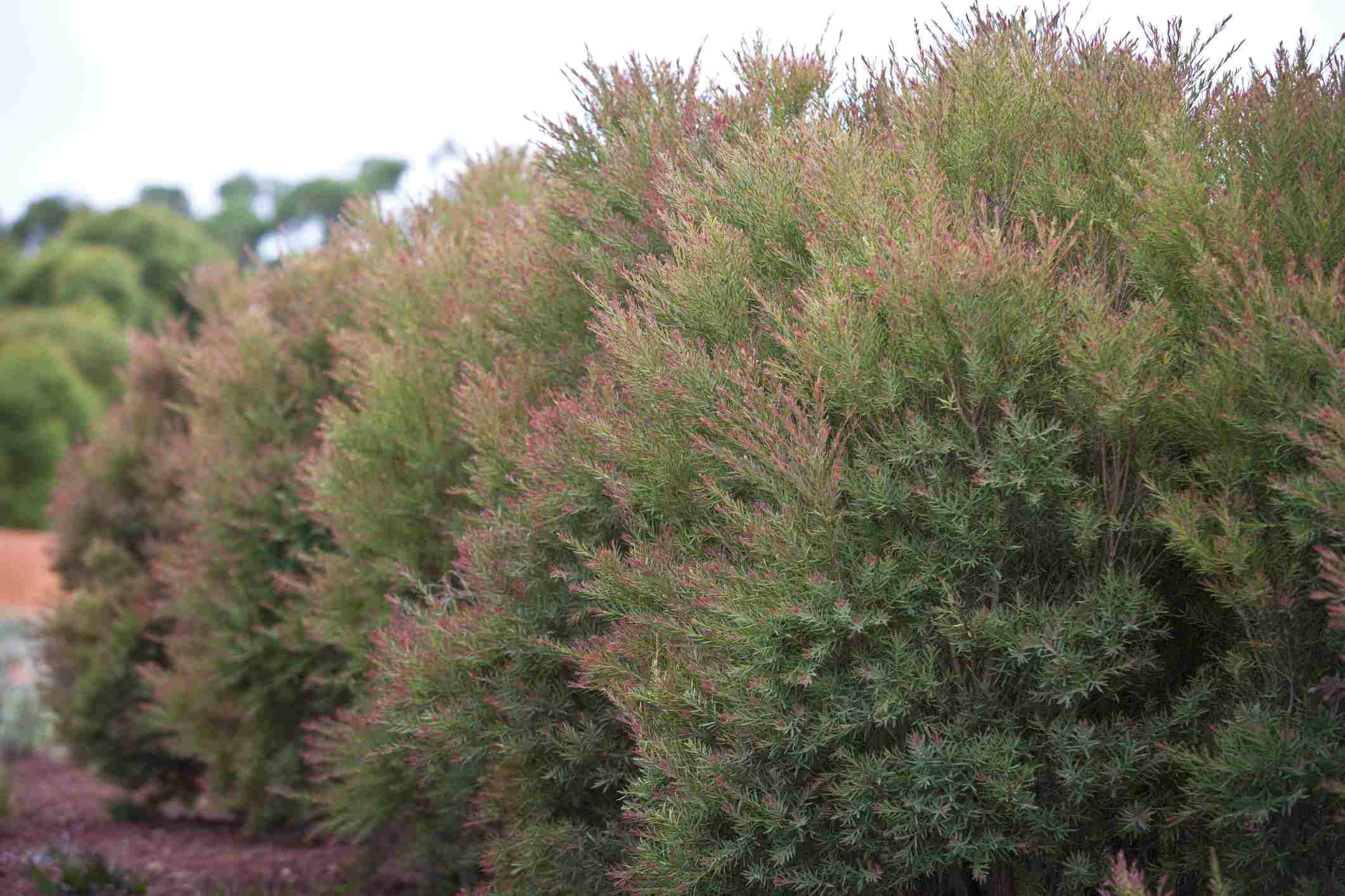 melaleuca shrub