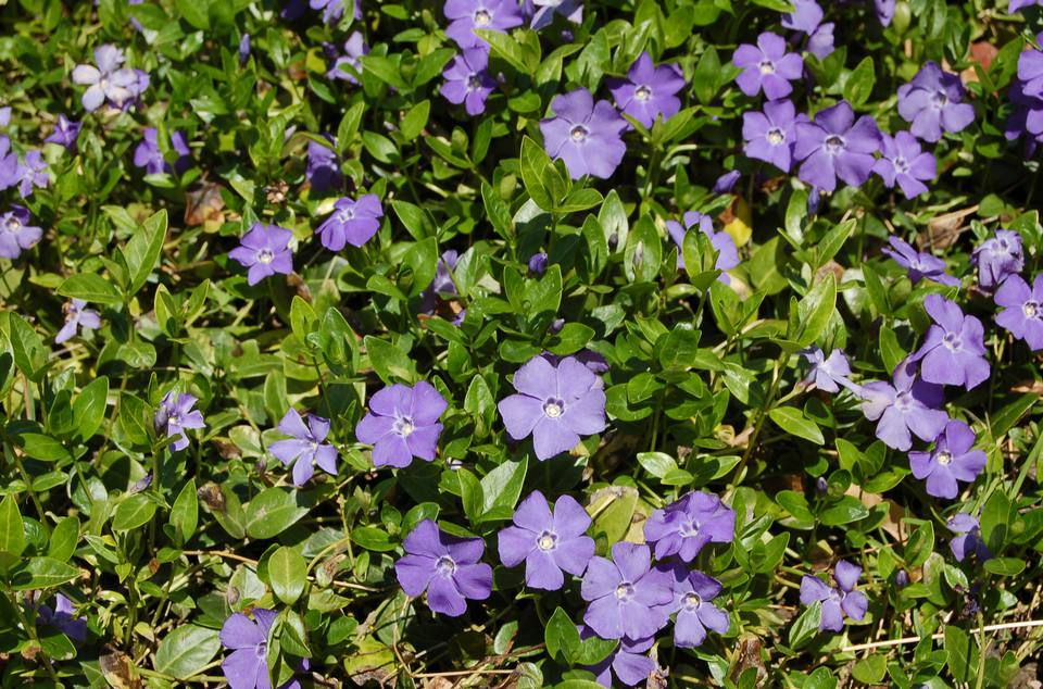 Vinca minor ground cover in bloom.