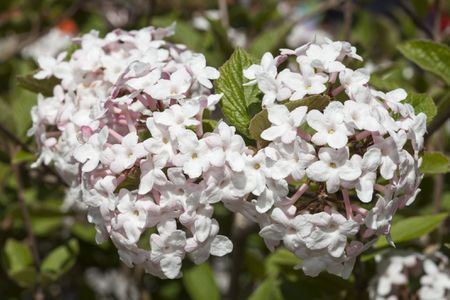 10 best shrubs with white flowers closeup of two flower clusters from a korean spice viburnum bush mightylinksfo