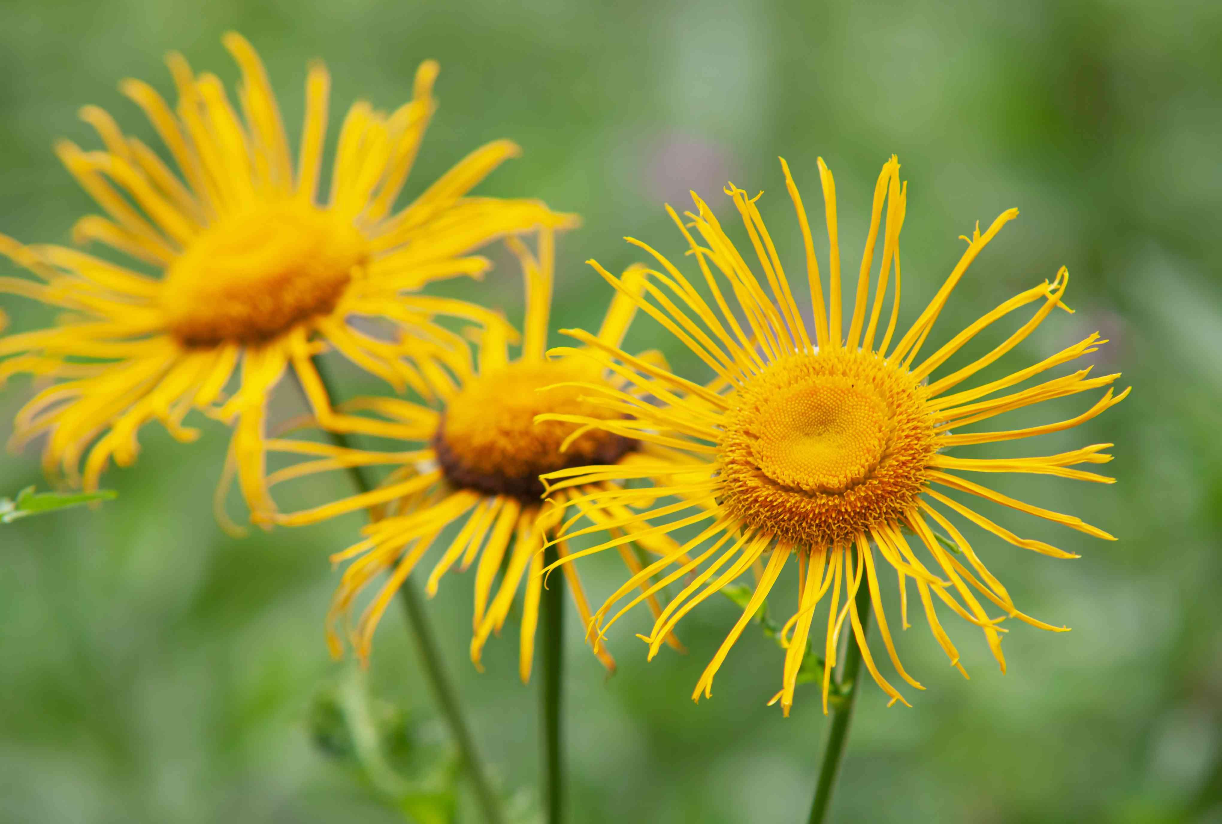 elecampane flowers