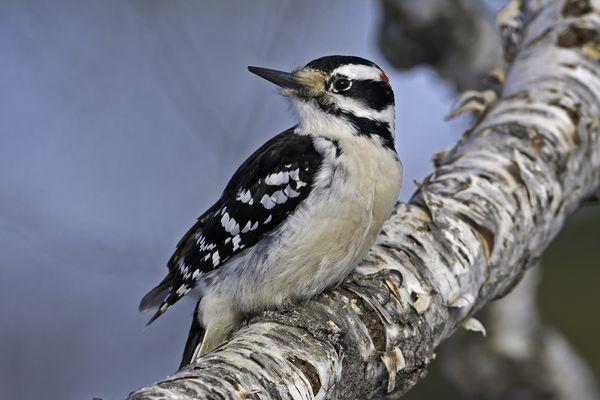 Downy woodpecker in a tree