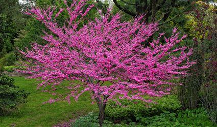 Eastern redbud tree (Cercis canadensis)