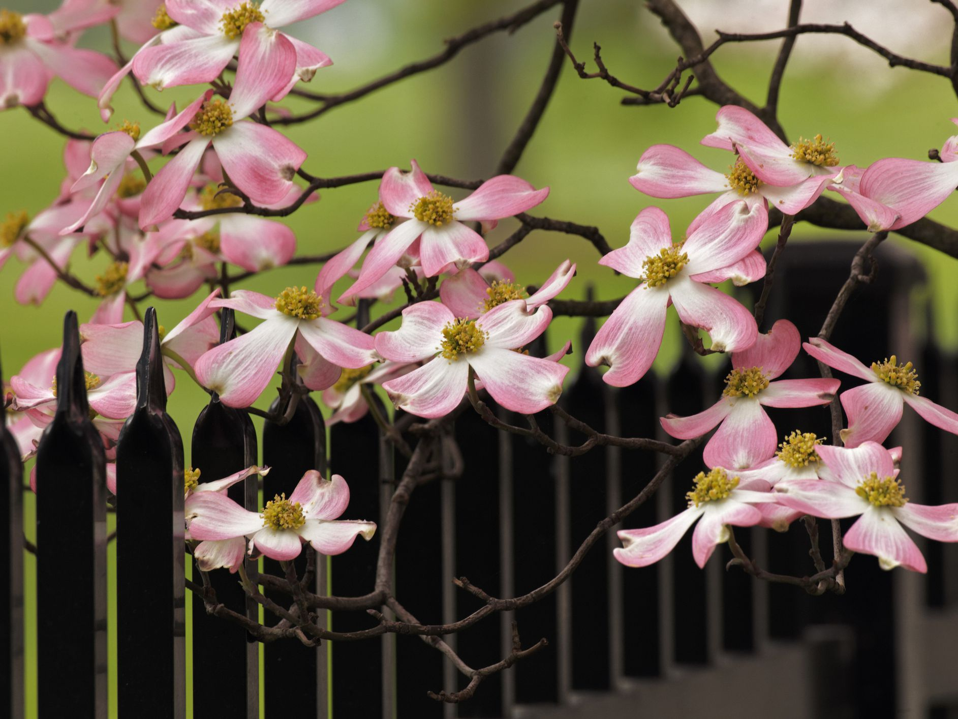 12 Species Of Dogwood And Trees