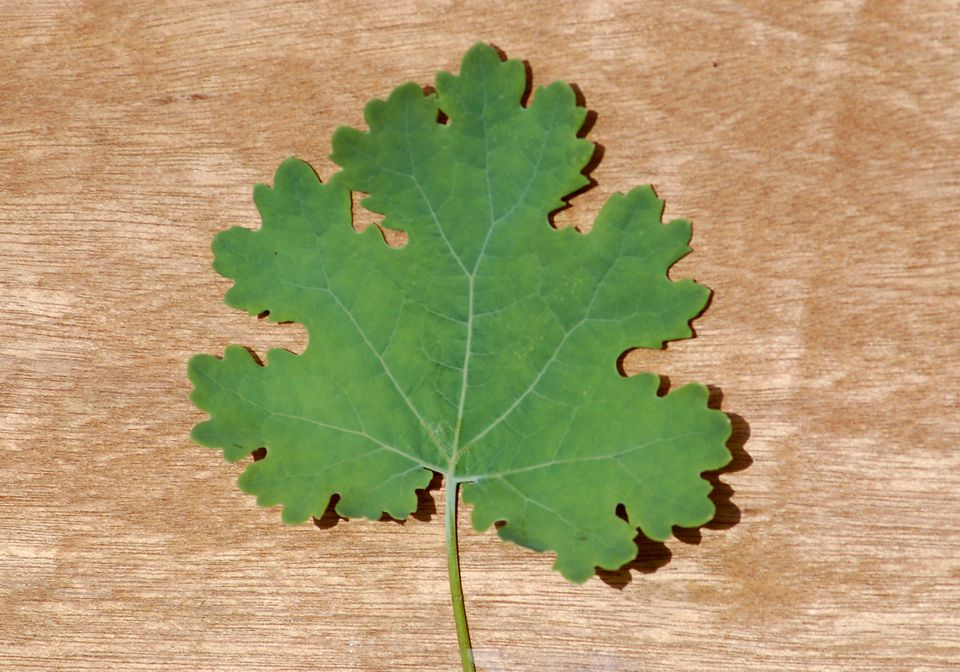 Plume poppy leaf has scalloped edges.