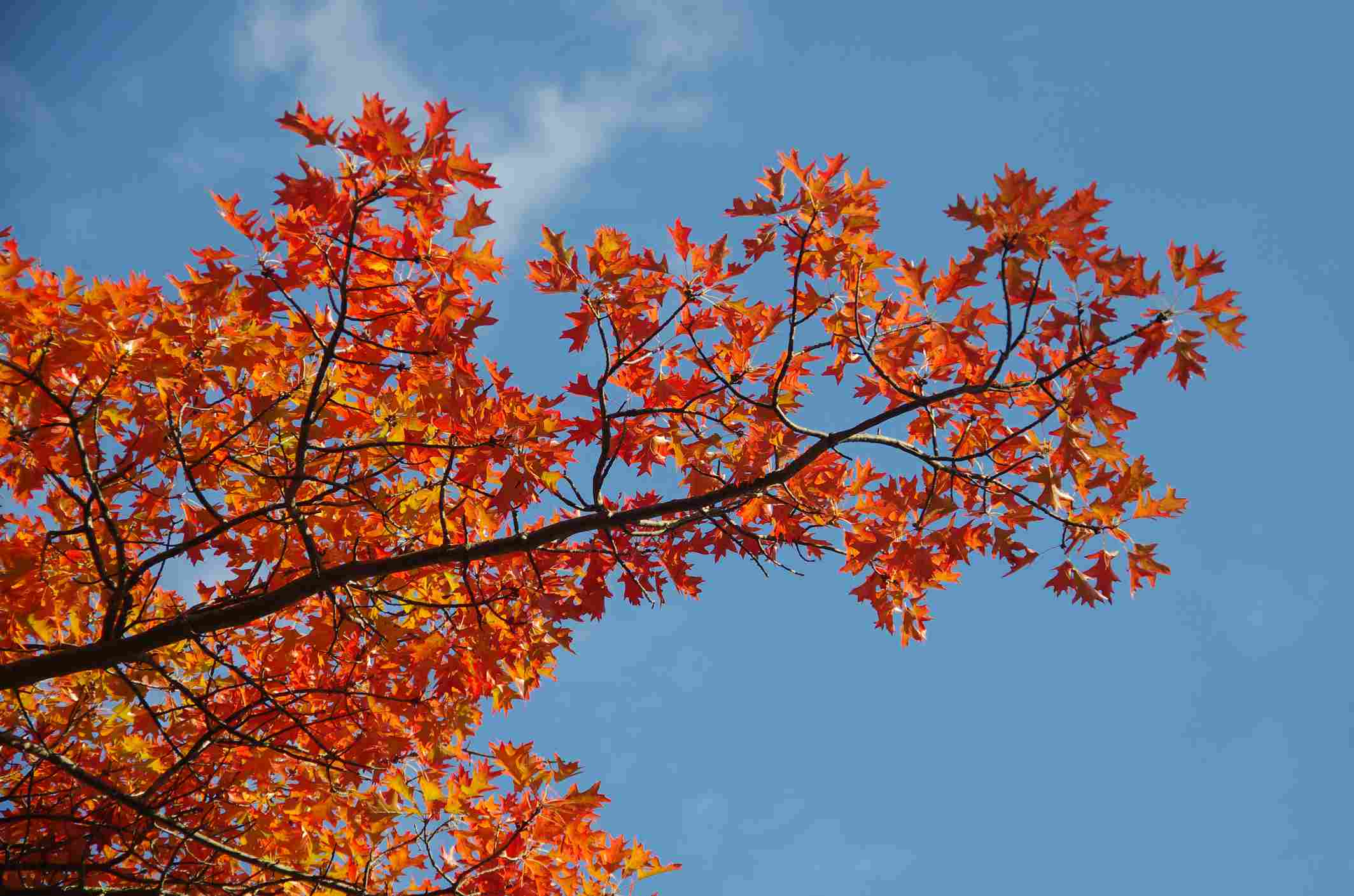 Red oak tree with fall color.