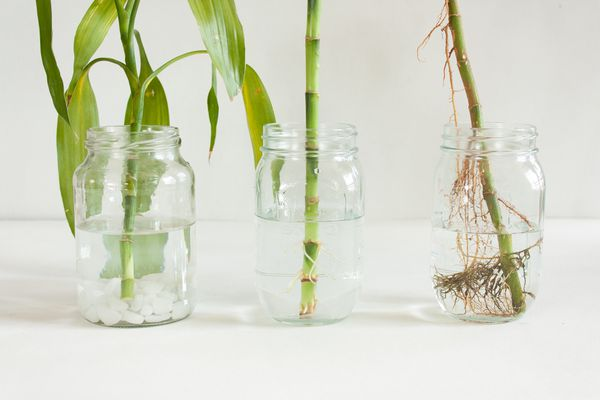 bamboo cuttings rooting in jars