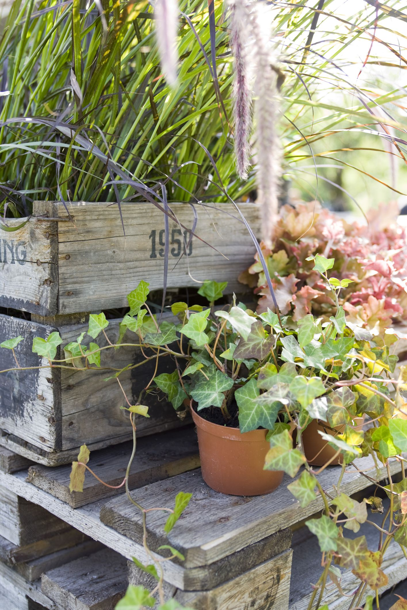 Growing Swedish Ivy Indoors For Foliage And Flowers