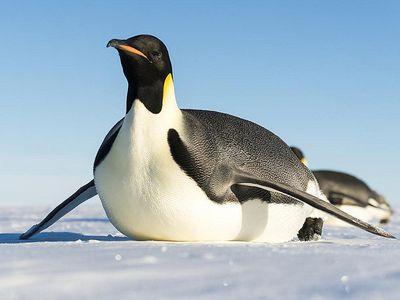 How Do You Define Toboggan For A Penguin