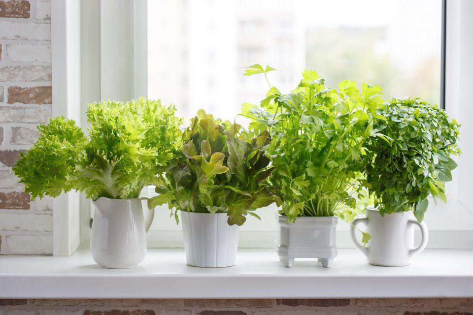 Hierbas culinarias aromáticas frescas en macetas blancas en el alféizar de la ventana. Lechuga, apio de hoja y albahaca pequeña. Huerta de hierbas.