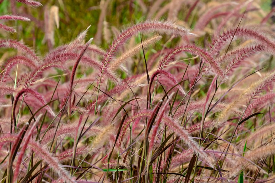 Ornamental grass with feathery pink and tan plumes