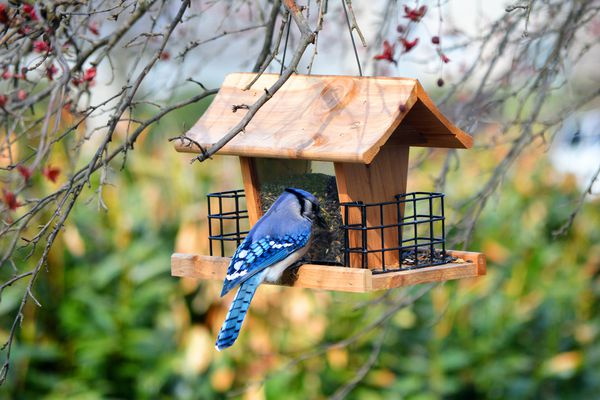 Blue Jay on a bird feeder
