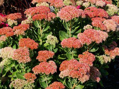 Brighten Your Fall Garden With 'Autumn Joy' Stonecrop · Perennial Plants