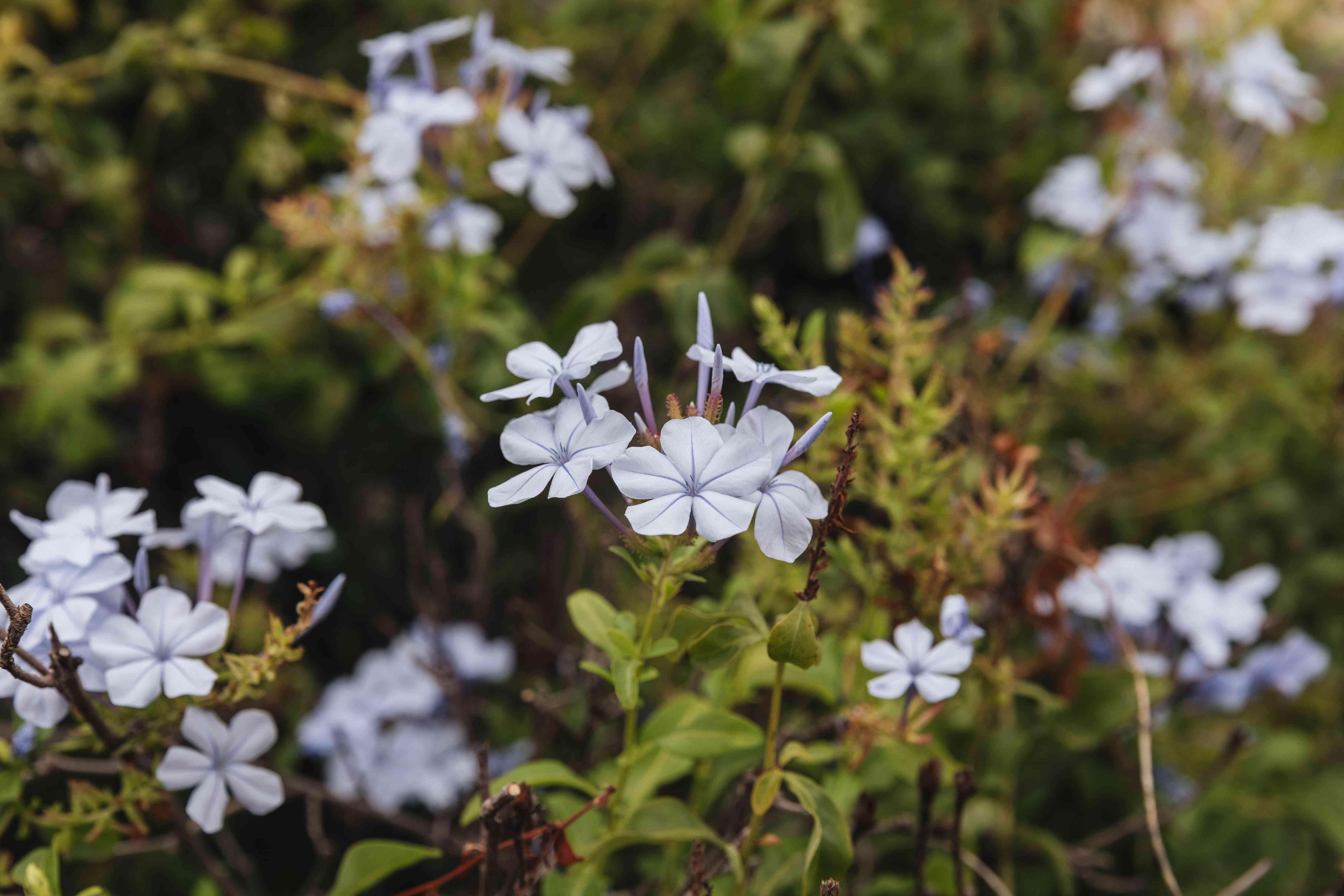 leadwort flowers