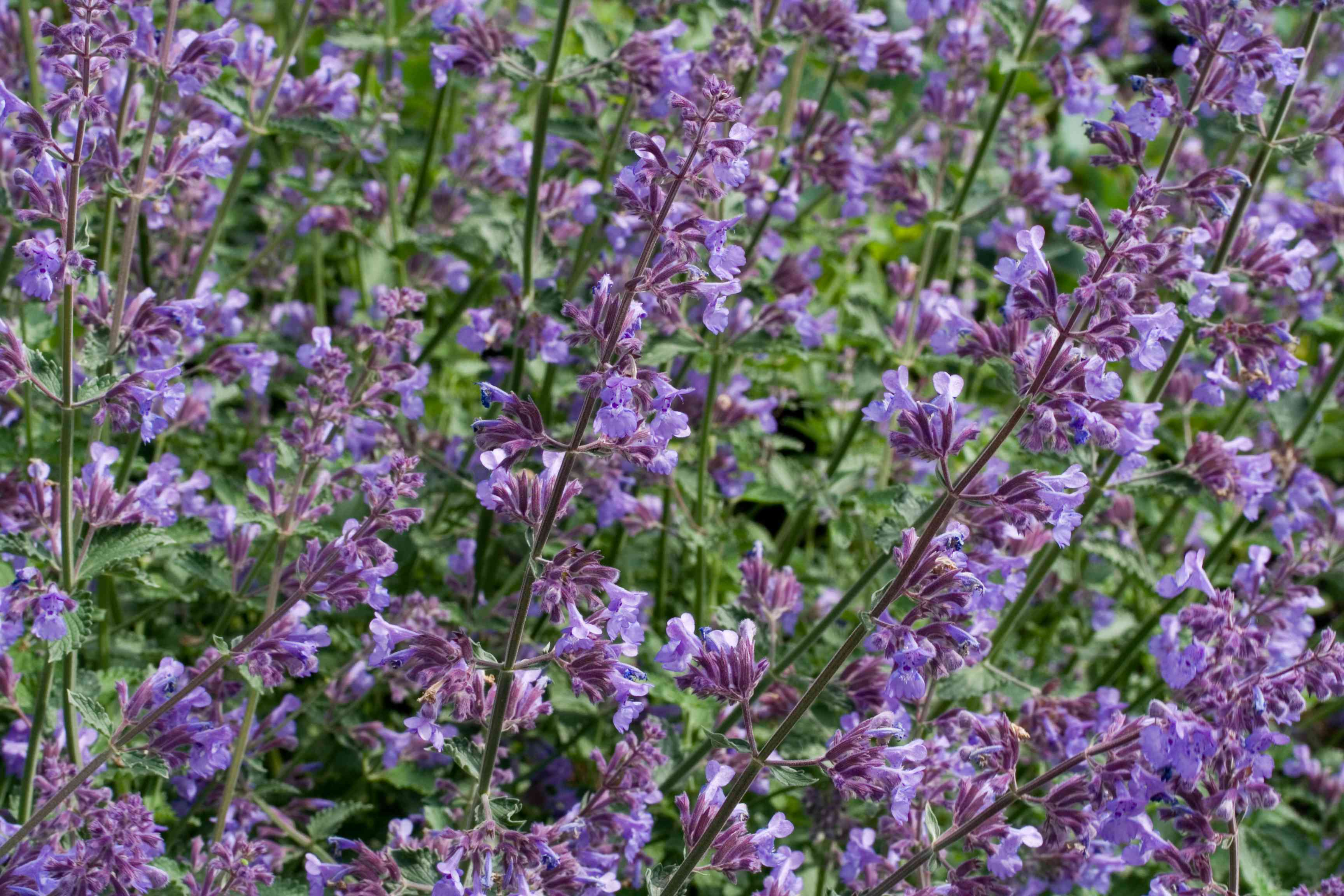 wild catnip plant in bloom with lavender flowers