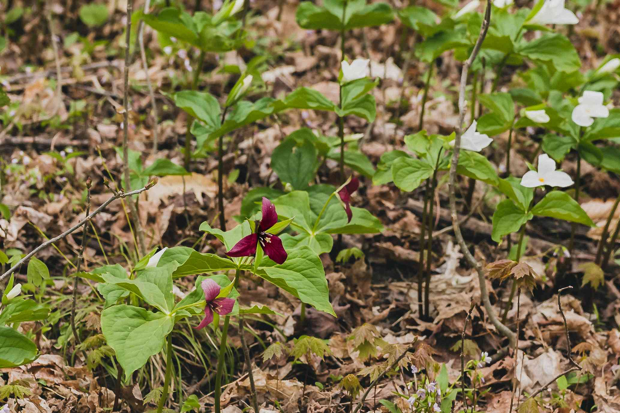 Trillium plants in wooded area with white and purple flowers surrounded by large leaves