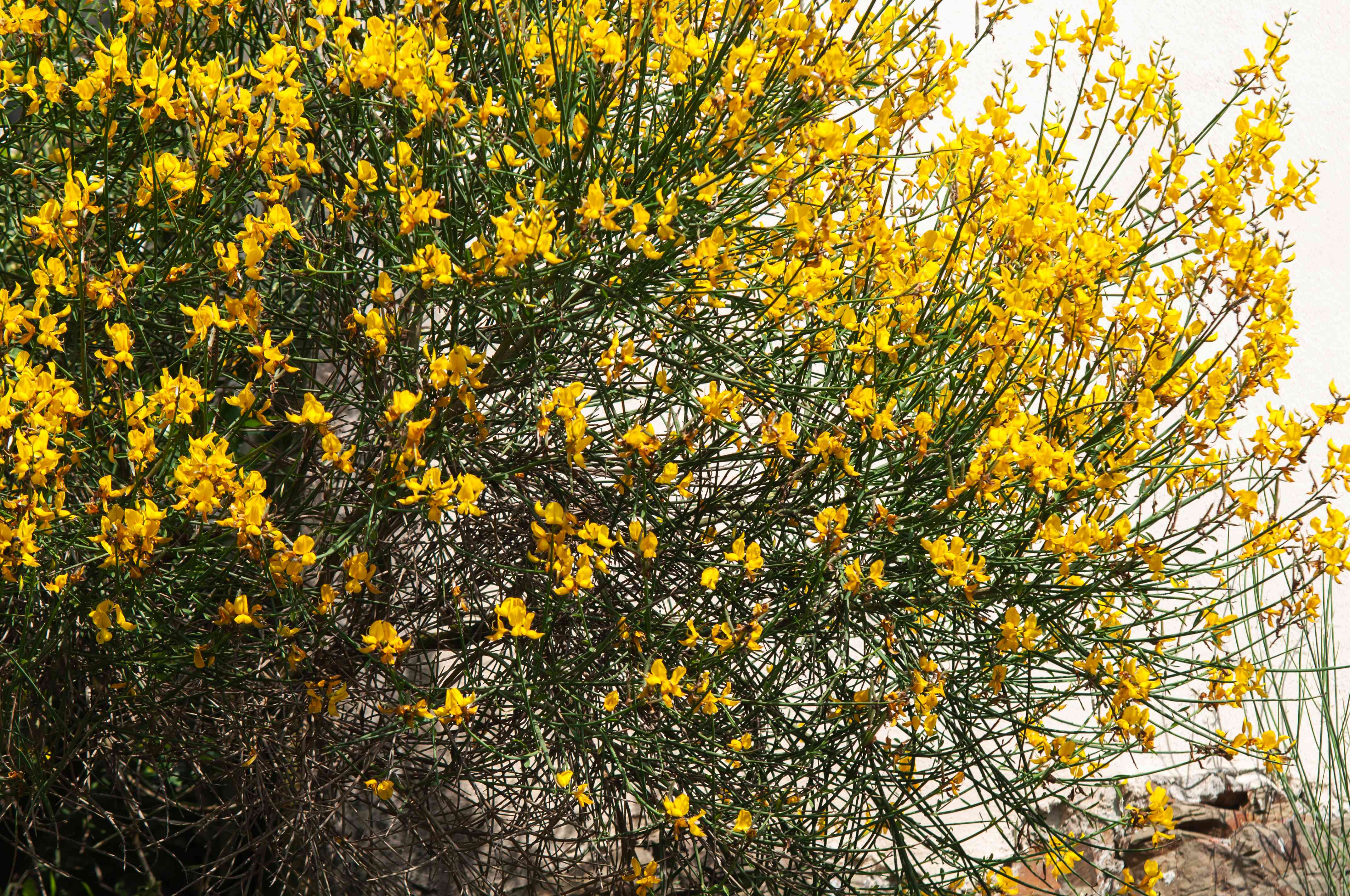 broom plant shrub