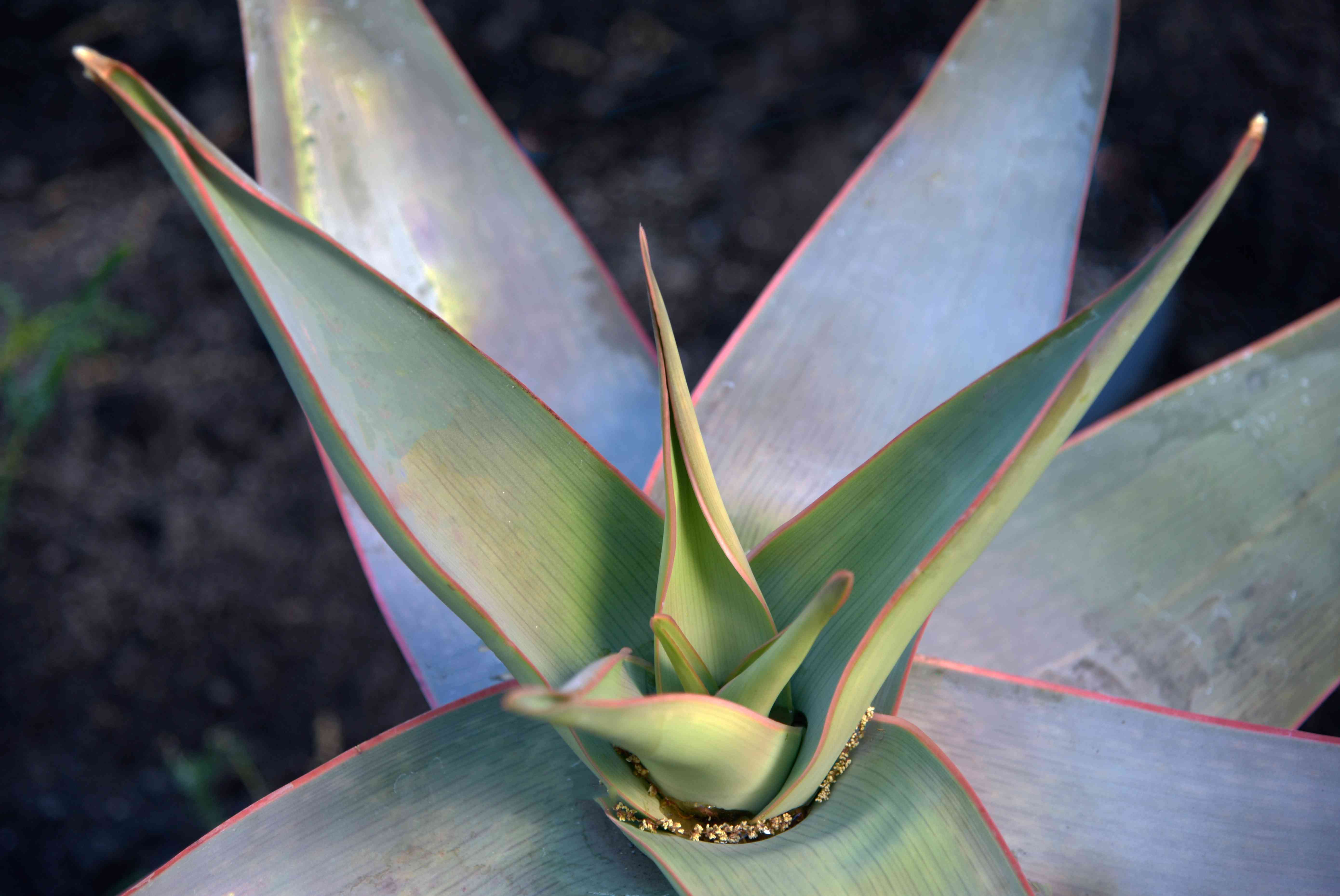 Coral aloe with wide thick leaves trimmed in pink closeup