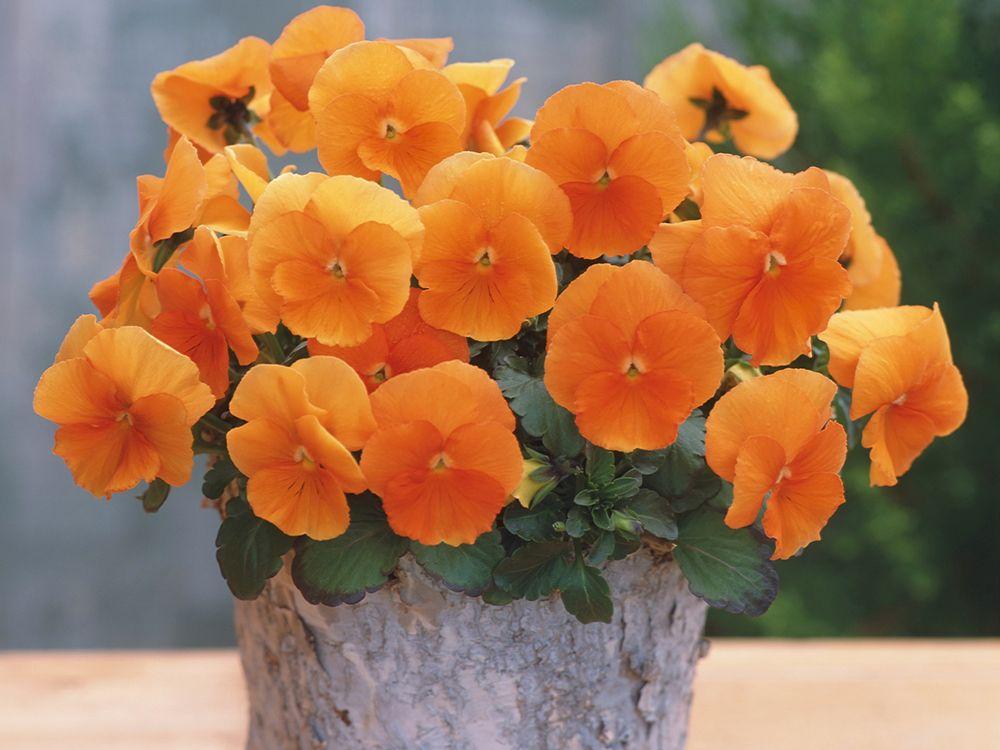 'Nature Orange' pansies with orange blooms
