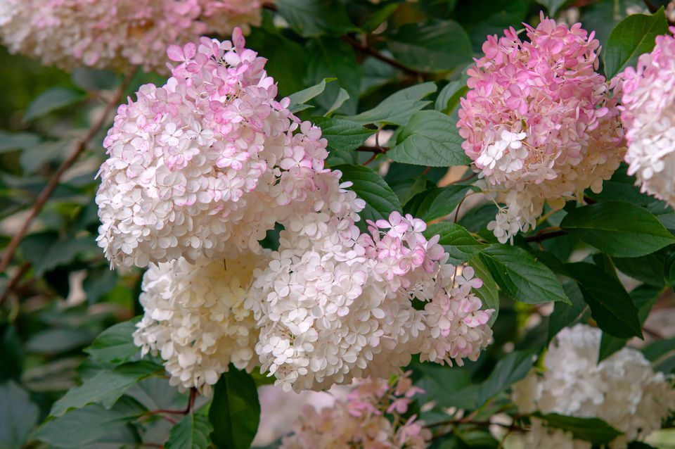 Strawberry vanilla hydrangea with bi-colored flower head of white and pink petals clustered on branches
