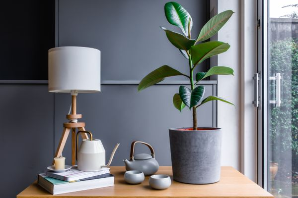 a rubber tree by the window
