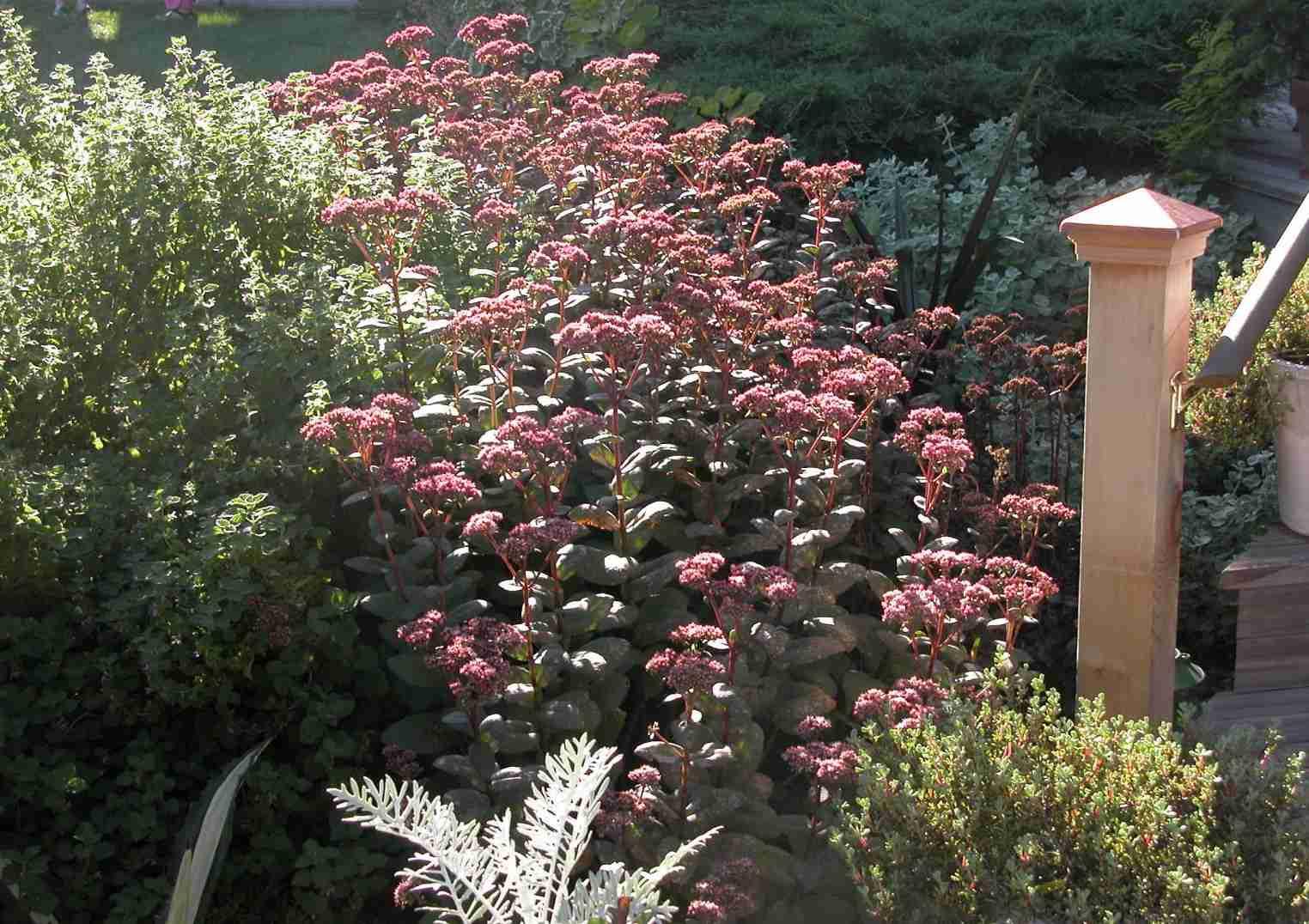 Usando Sedum en su totalidad Sun Garden Border Design