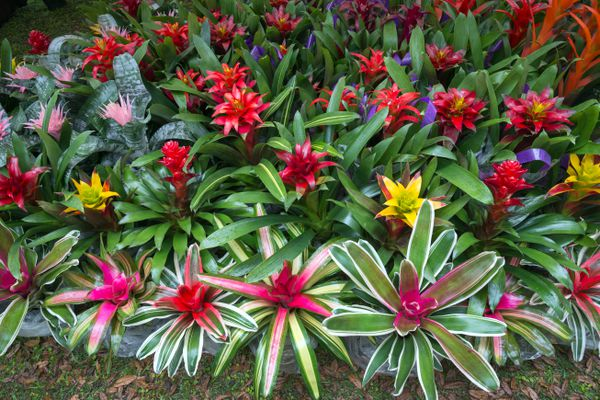A large collection of bromeliad houseplants for sale