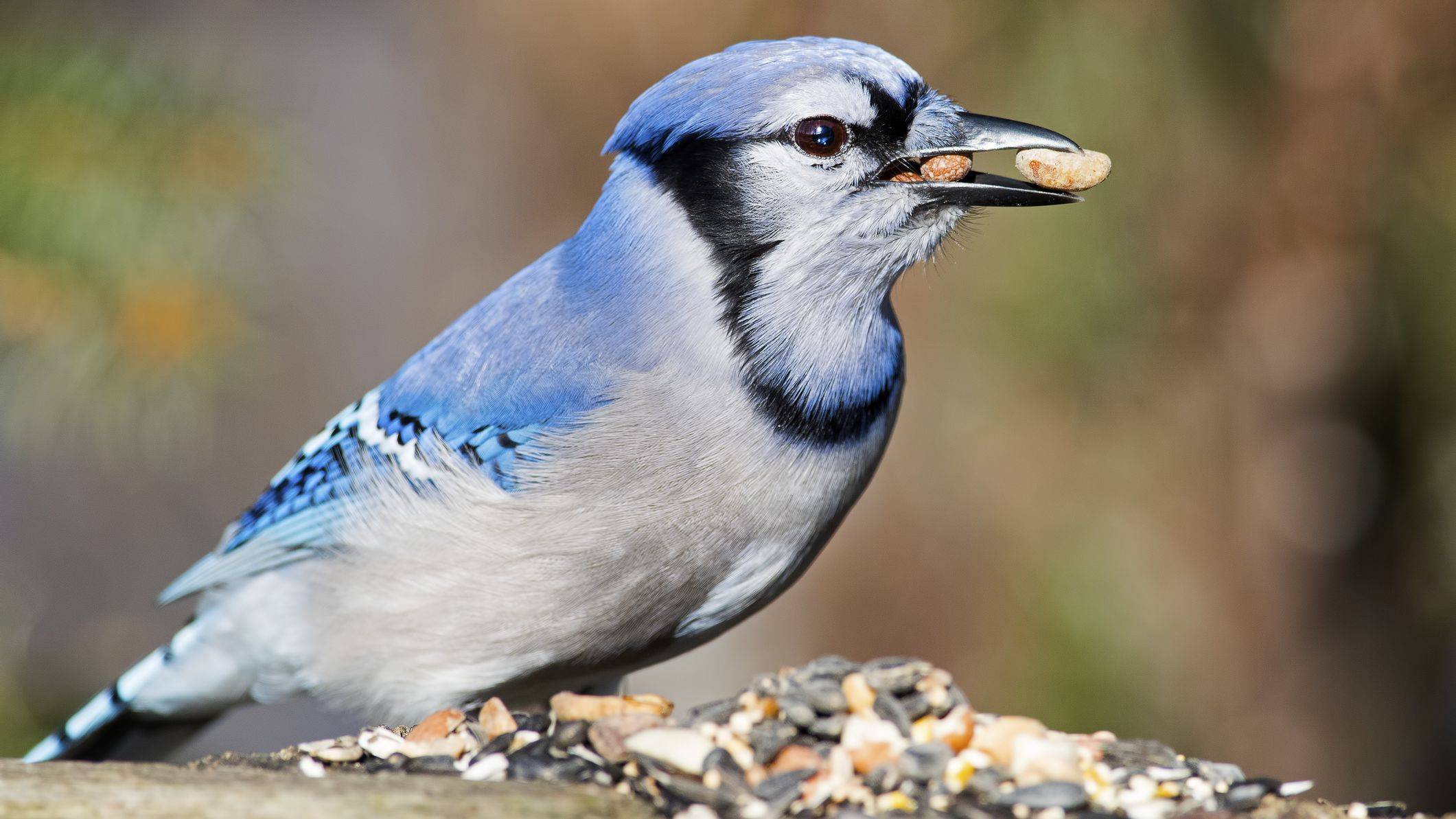 How To Attract Jays To Your Backyard