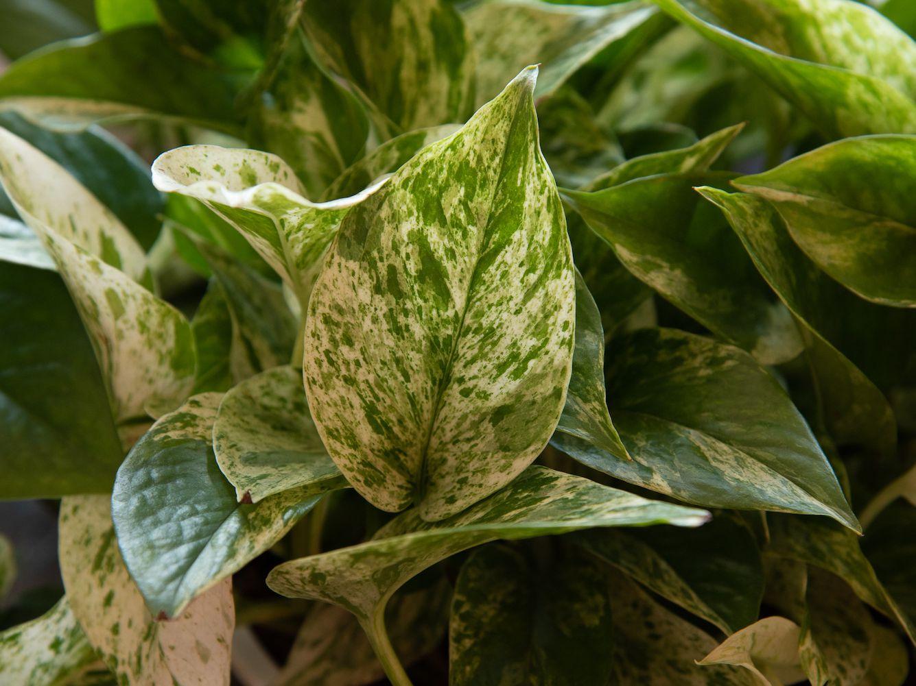 Pothos Plant: Care and Growing Guide on flowers plants vine, squash vine, tropical flowers vine, wandering jew vine,