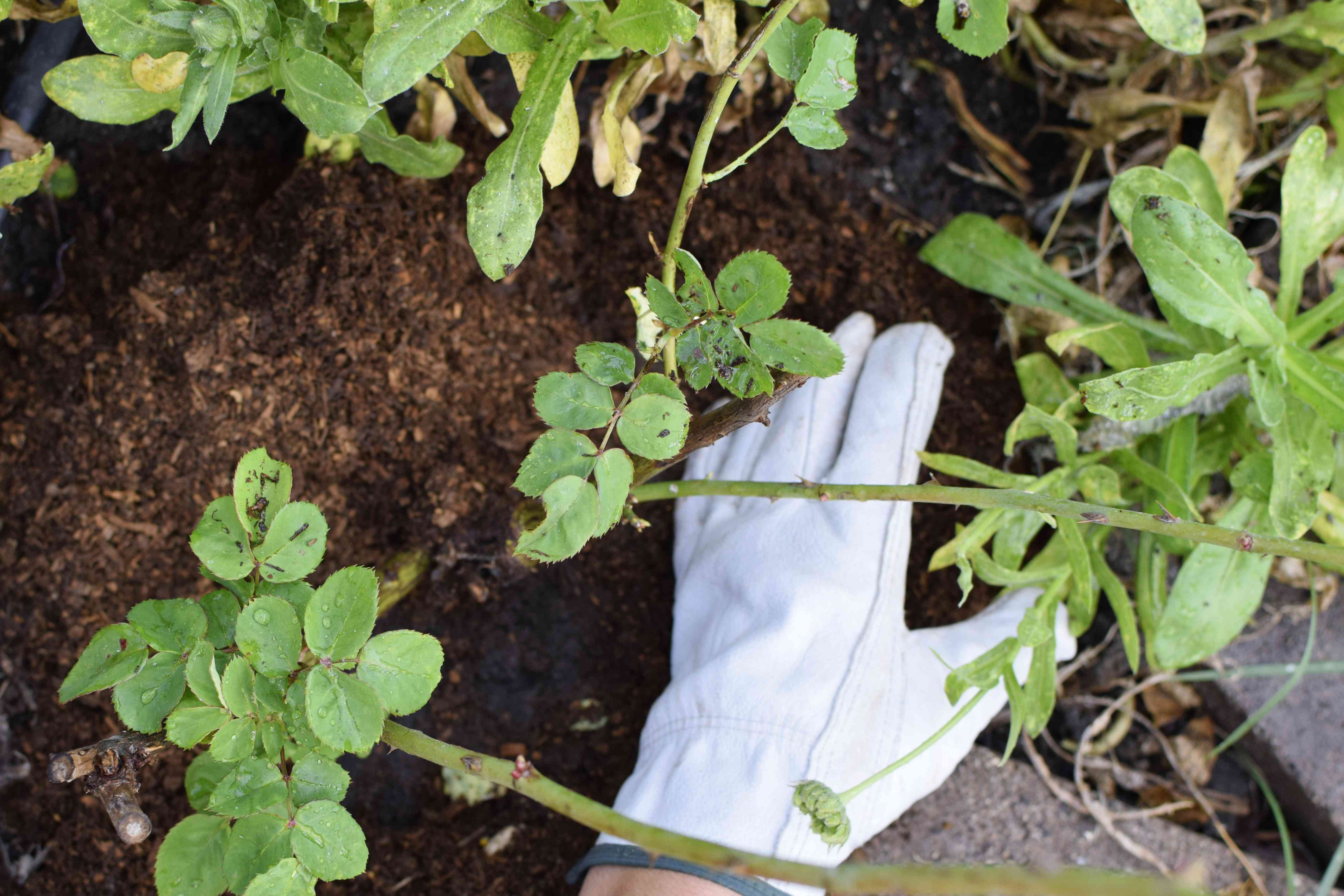 Protective mulch being removed from roses by hand