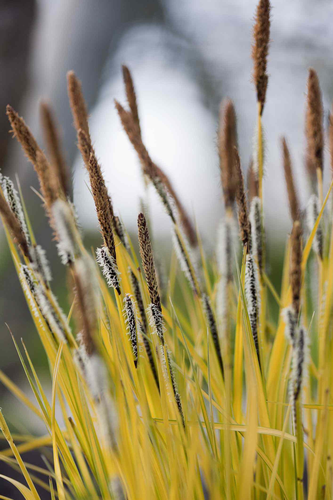 Flowering Bowles Golden Sedge (Carex elata syn. C stricta) 'Aurea'