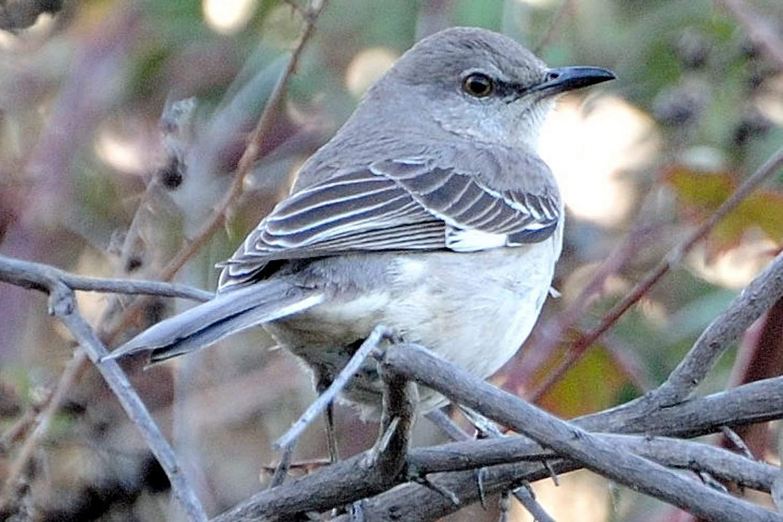 Northern Mockingbird, the state bird of Arkansas, sitting on tree branches.