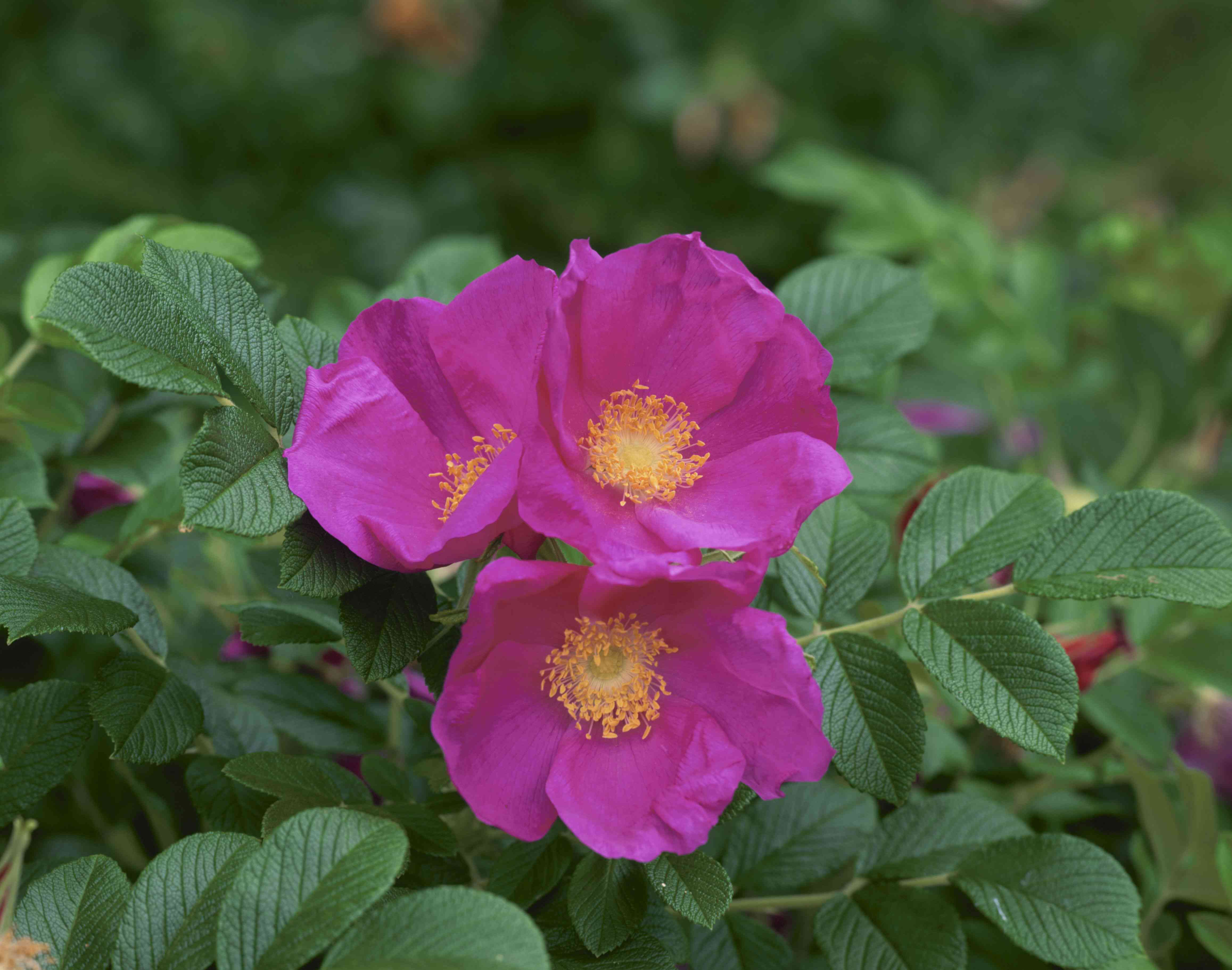 close up of rugosa roses