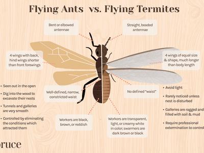 Flying Ants vs. Flying Termites
