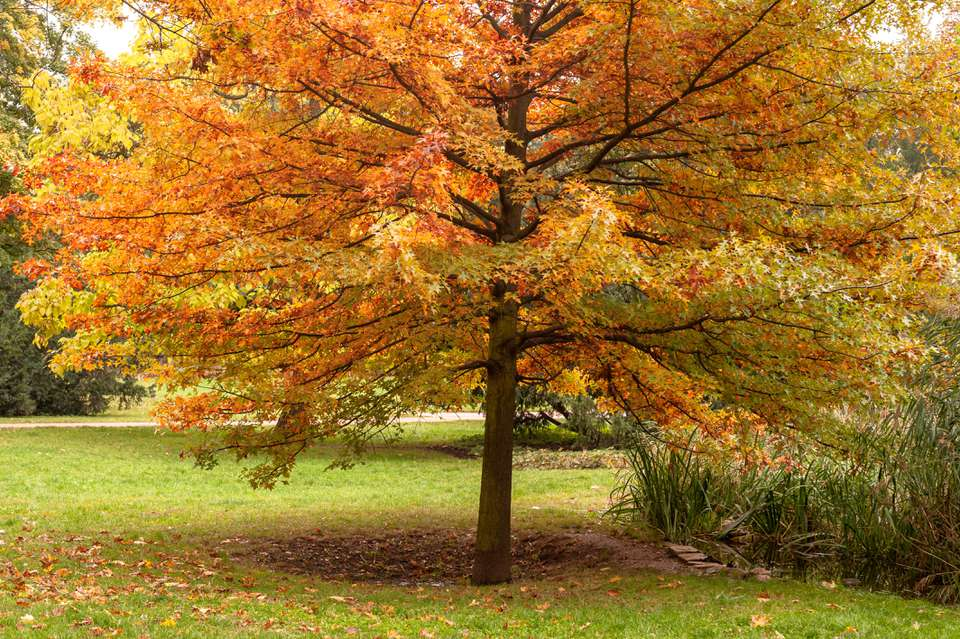 Pin oak tree with yellow-green and orange leaves for fall foliage
