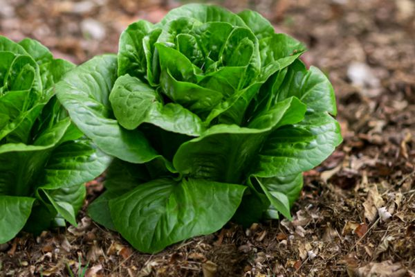 basal leaves, growing at the base of lettuce