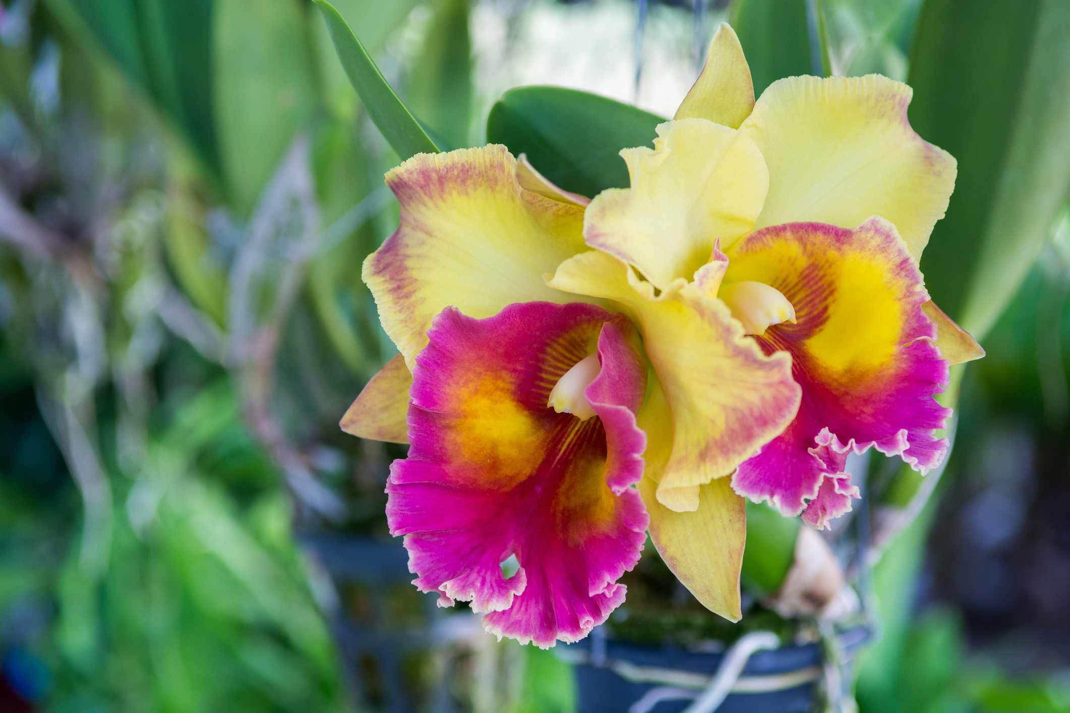 purple and yellow cattleya orchids