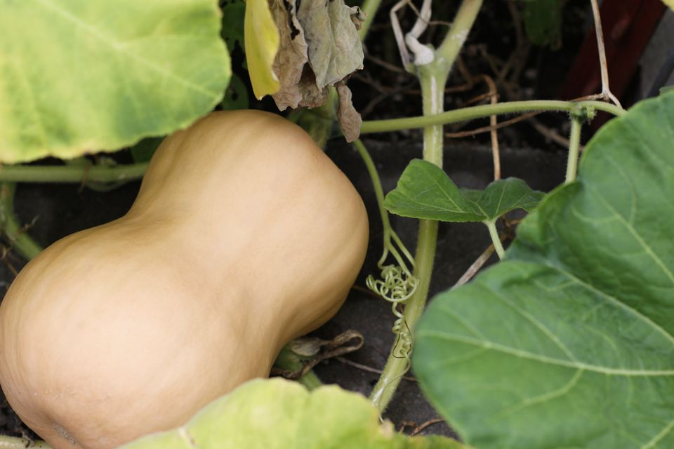 Butternut Squash On Vine