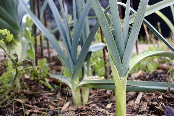 growing leeks