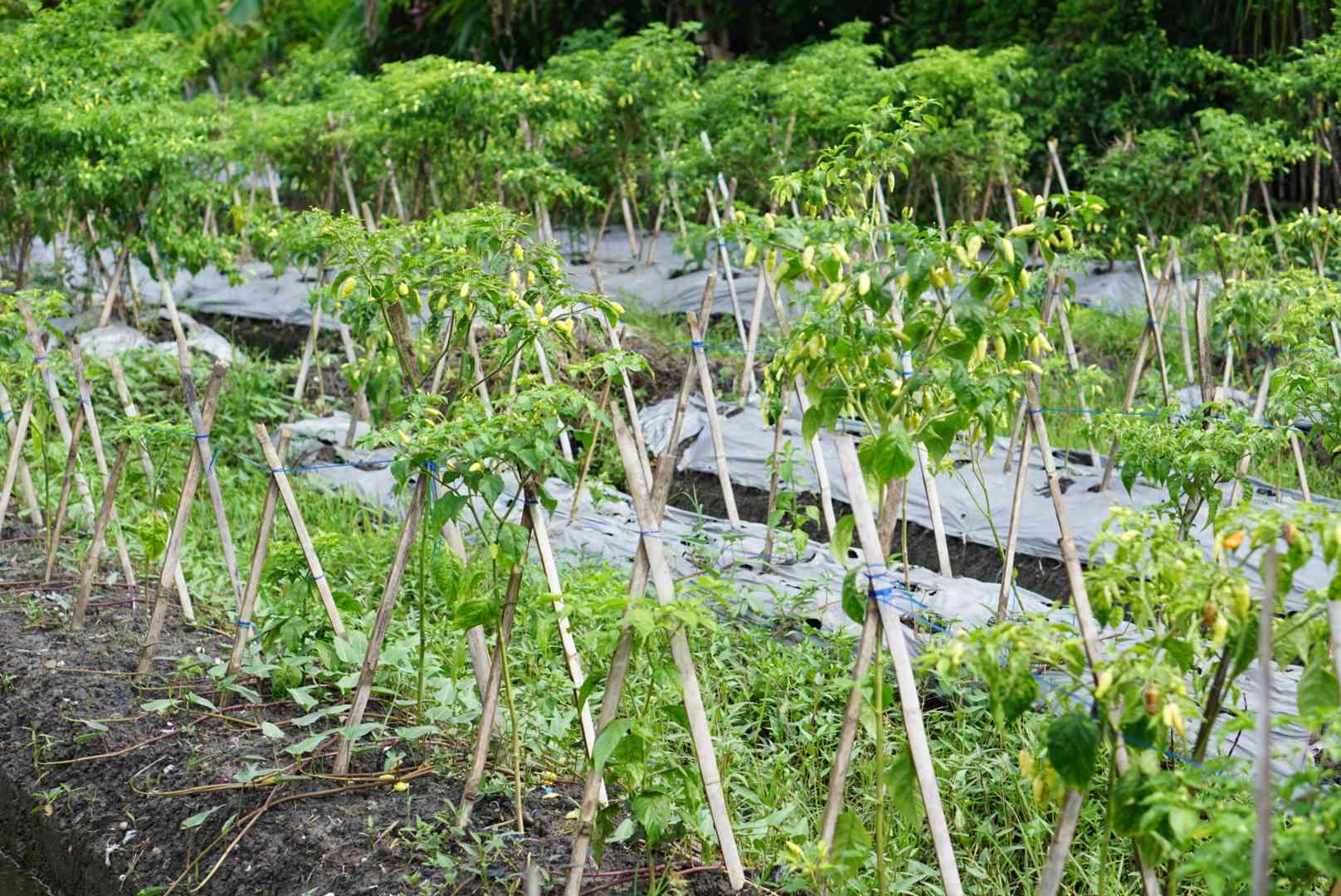 Wooden cross posts holding up plants in vegetable garden