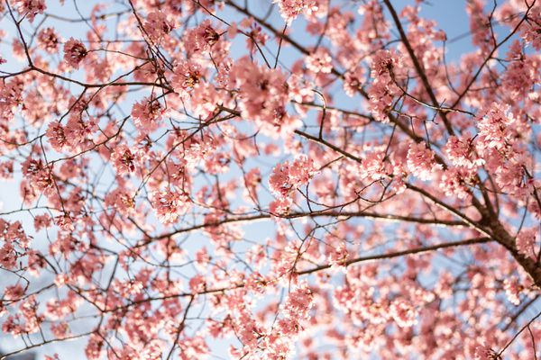 Sweet cherry tree branches with small pink blossom clusters against blue sky